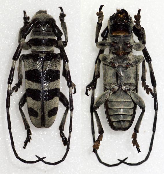 Image of <i>Eutaenia tanoni</i> Breuning 1962