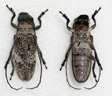 Image of <i>Lochmaeocles fasciatus</i> (Lucas 1859)