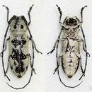 Image of <i>Rhaphidopsis melaleuca</i> Gerstaecker 1855
