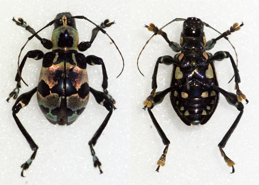 Image of <i>Doliops magnifica</i>