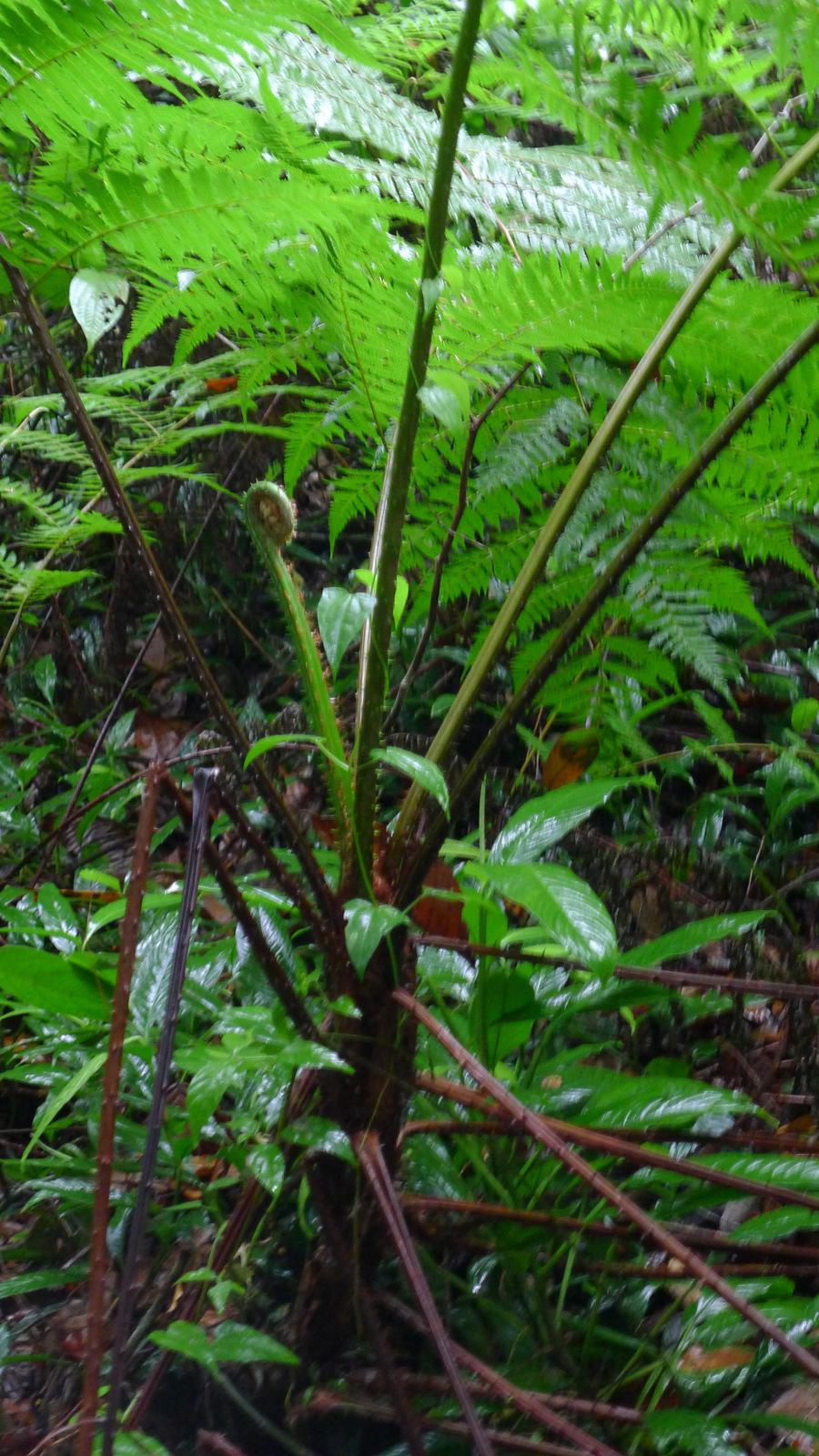 Image of <i>Cyathea microdonta</i> (Desv.) Domin