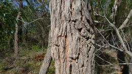 Image of <i>Angophora bakeri</i> E. C. Hall
