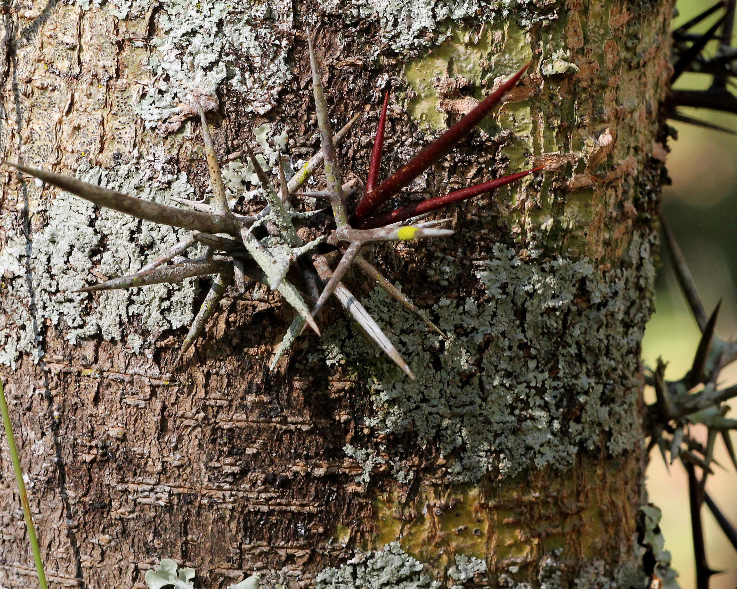 Image of water locust