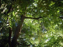 Image of walnut