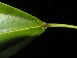 Sivun <i>Alchorneopsis floribunda</i> (Benth.) Müll. Arg. kuva