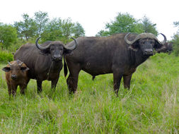 Image of African Buffalo