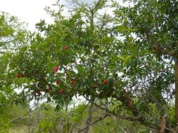Image of <i>Ximenia caffra</i> Sond.
