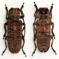 Image of <i>Cochliopalpus suturalis</i> Harold 1880