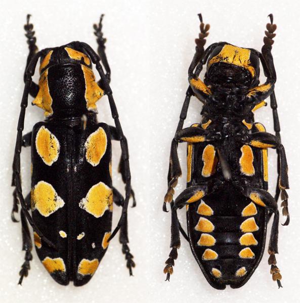 Image of <i>Tragocephala pretiosa</i> Hintz 1909