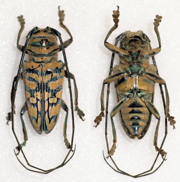 Image of <i>Sternotomis mathildae</i> Allard 1993