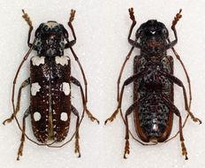 Image of <i>Protorhopala sexnotata</i> (Klug 1833)