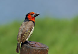 Image of Black-collared Barbet