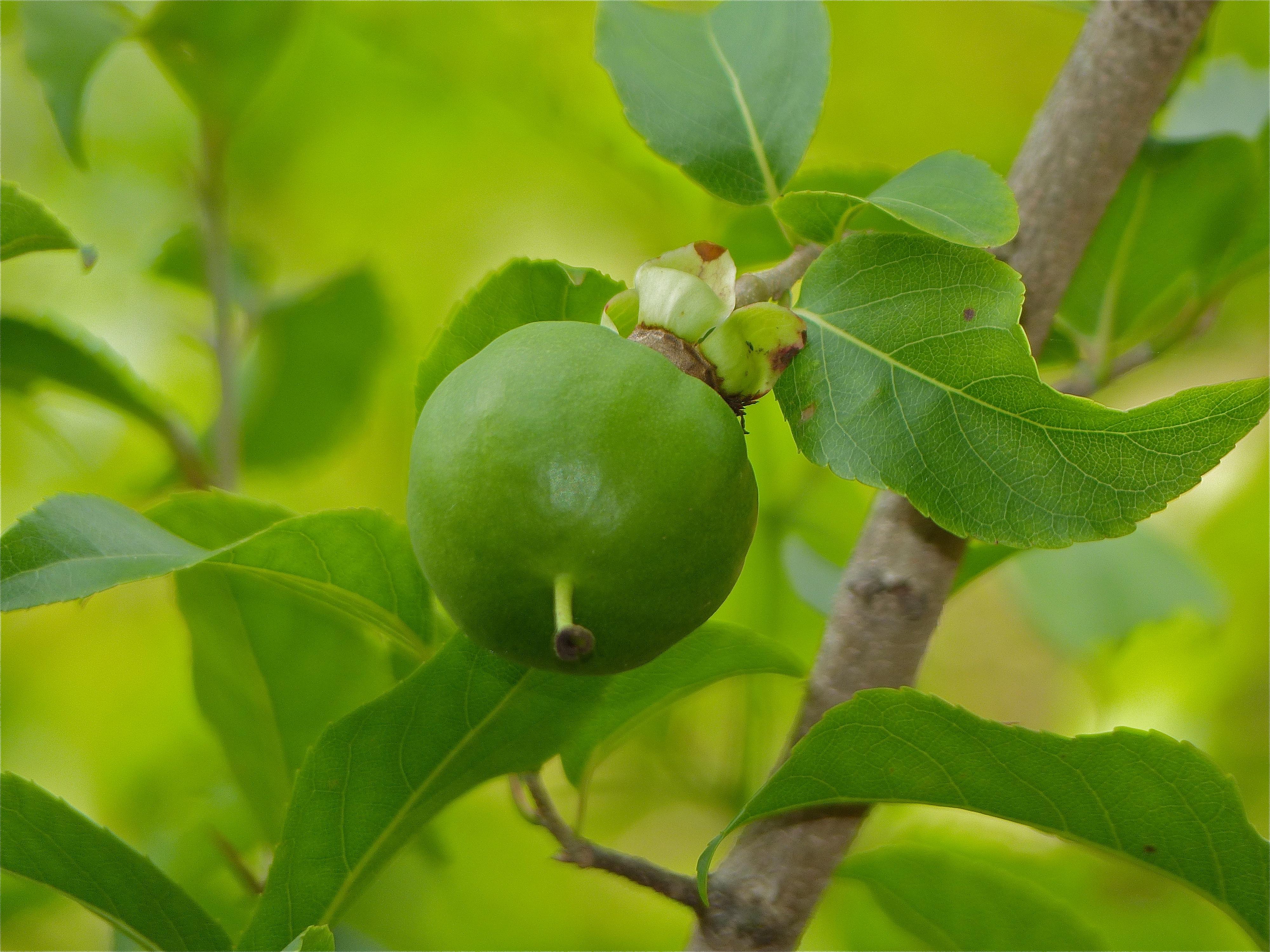 Image of <i>Oncoba spinosa</i> Forsk.