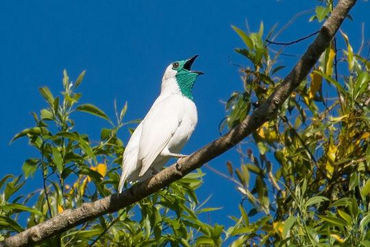 Image of bare-throated bellbird