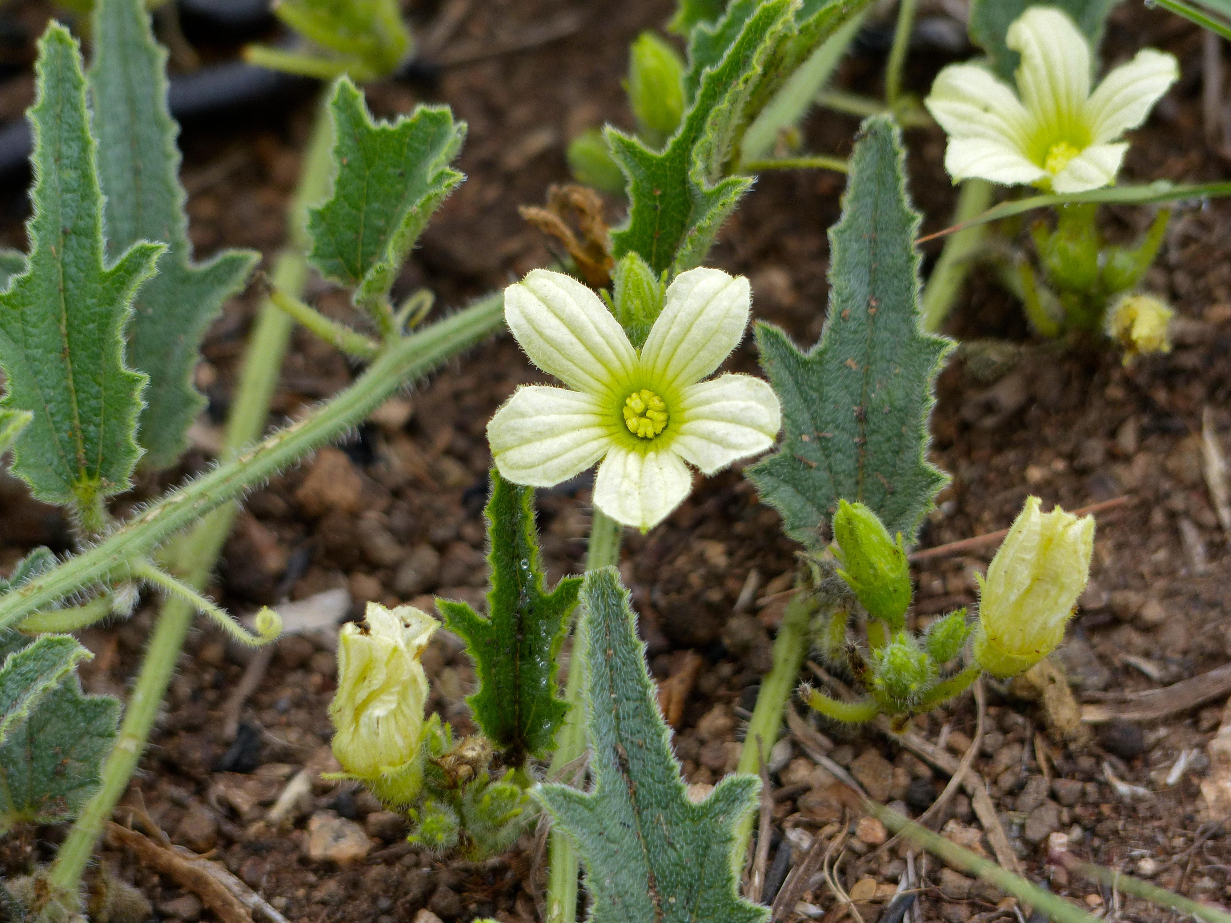Image of <i>Cucumis zeyherii</i>