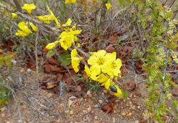 Image of Mopane Yellowthorn