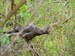 Image of Grey Go-away-bird