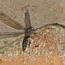 Image of <i>Mansellia annulata</i> Tjeder 1992