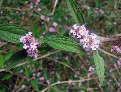 Image of <i>Lippia alba</i> (Mill.) N. E. Br. ex Britton & P. Wilson