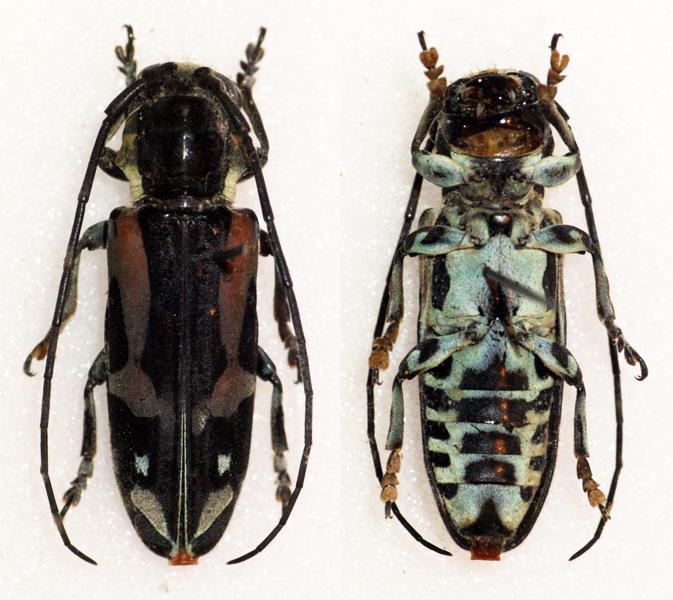 Image of <i>Tragocephala mniszechi</i>