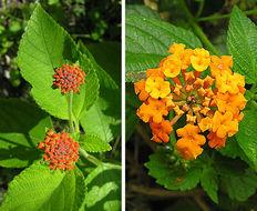 Image of West Indian shrubverbena