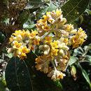 Image of <i>Buddleja nitida</i> Benth.