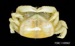 Image of seabiscuit pea crab