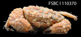 Image of areolated hairy crab
