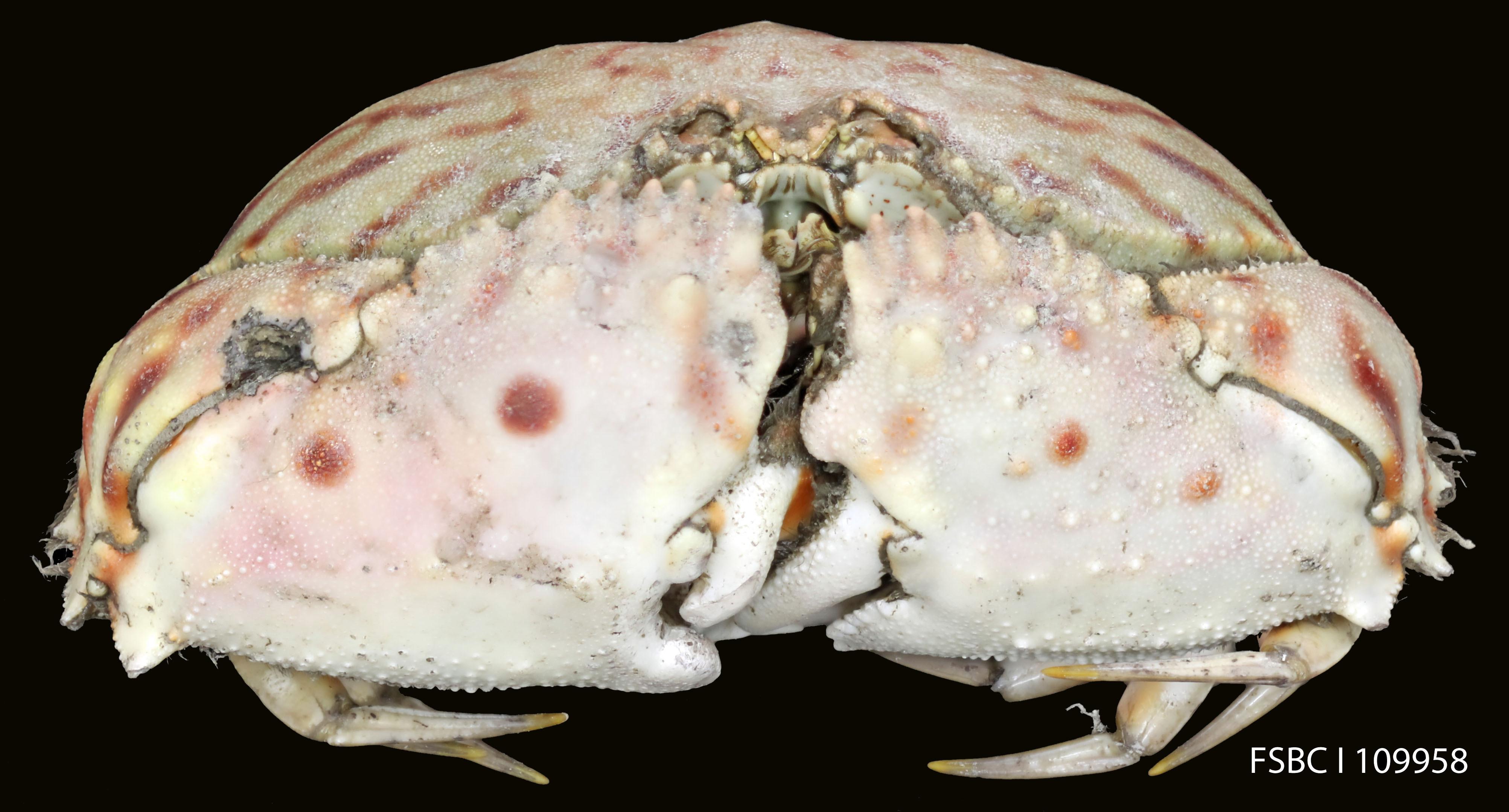 Image of flame box crab