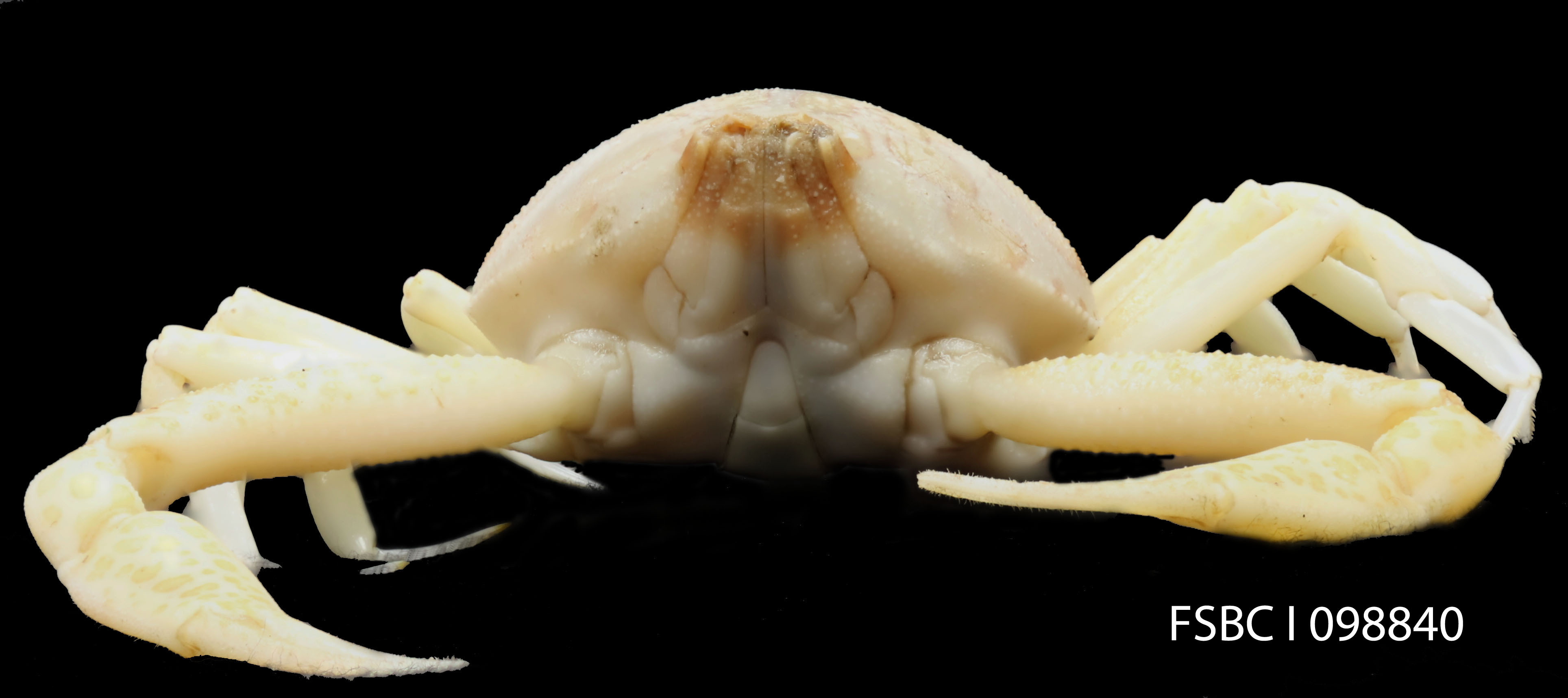 Image of Mottled Purse Crab