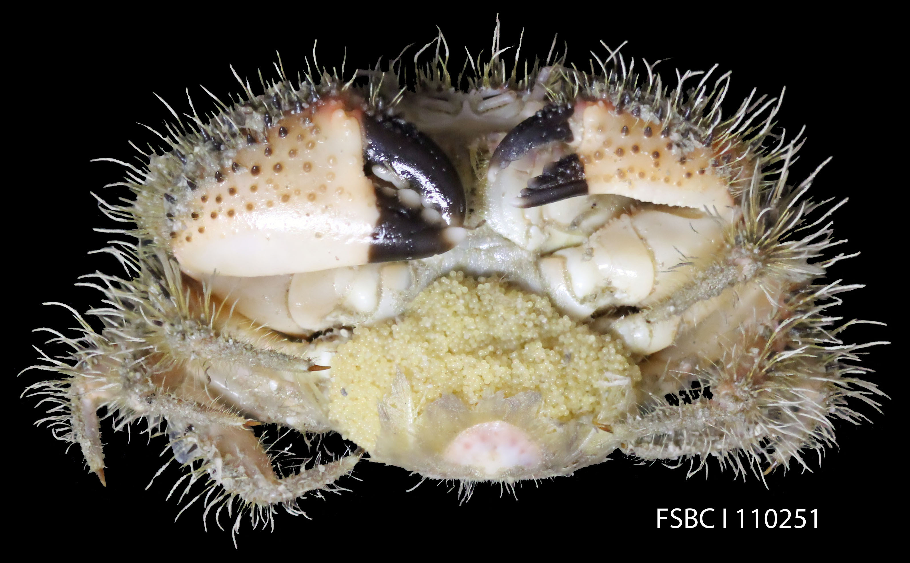 Image of spineback hairy crab