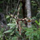Image of <i>Periandra mediterranea</i> (Vell.) Taub.