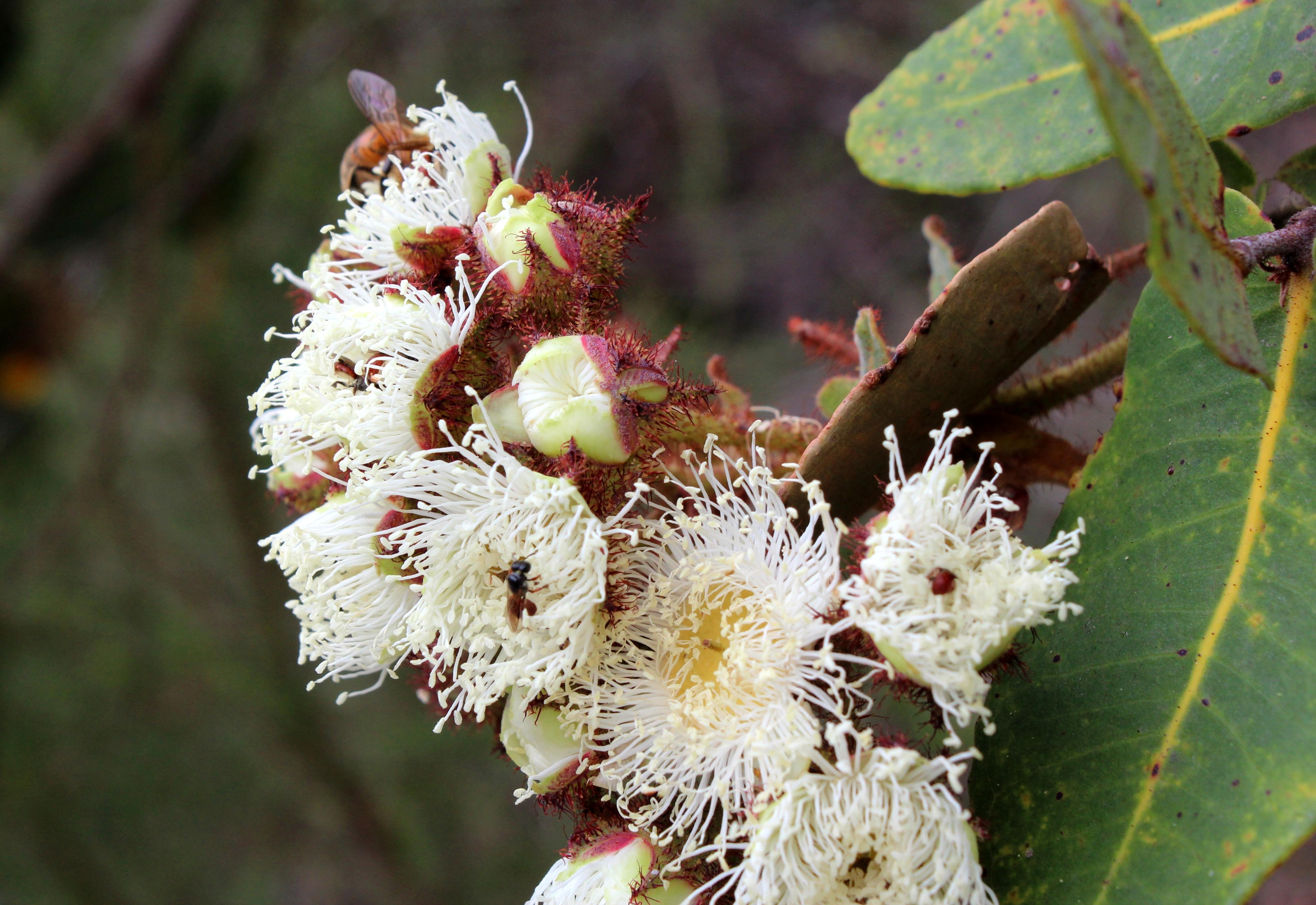 Image of <i>Angophora hispida</i> (Sm.) D. F. Blaxell