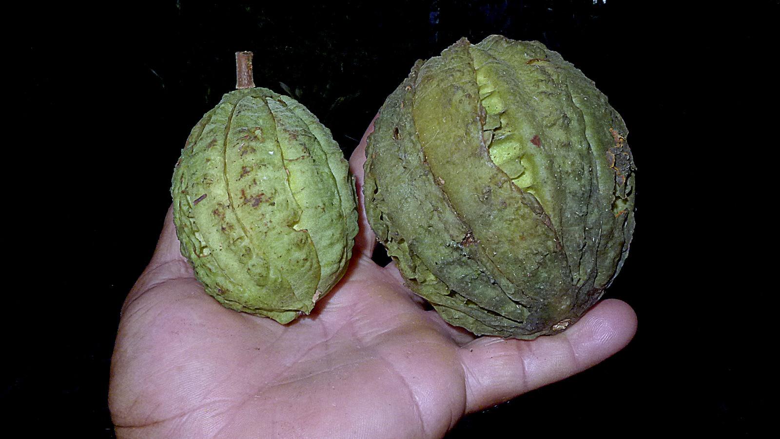 Image of <i>Carpotroche brasiliensis</i> (Raddi) Endl.