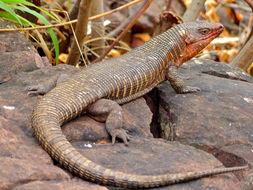 Image of Giant plated lizard
