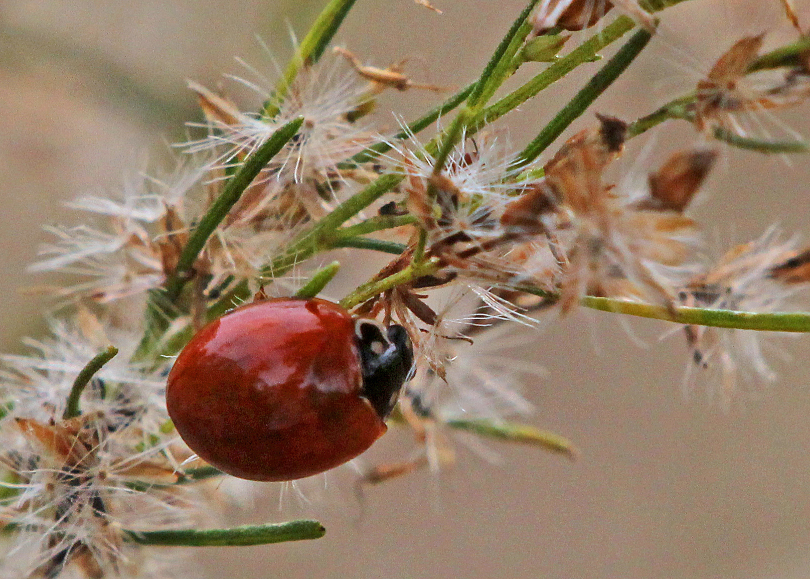 Image of Spotless Lady Beetle