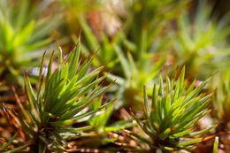 Image of pogonatum moss