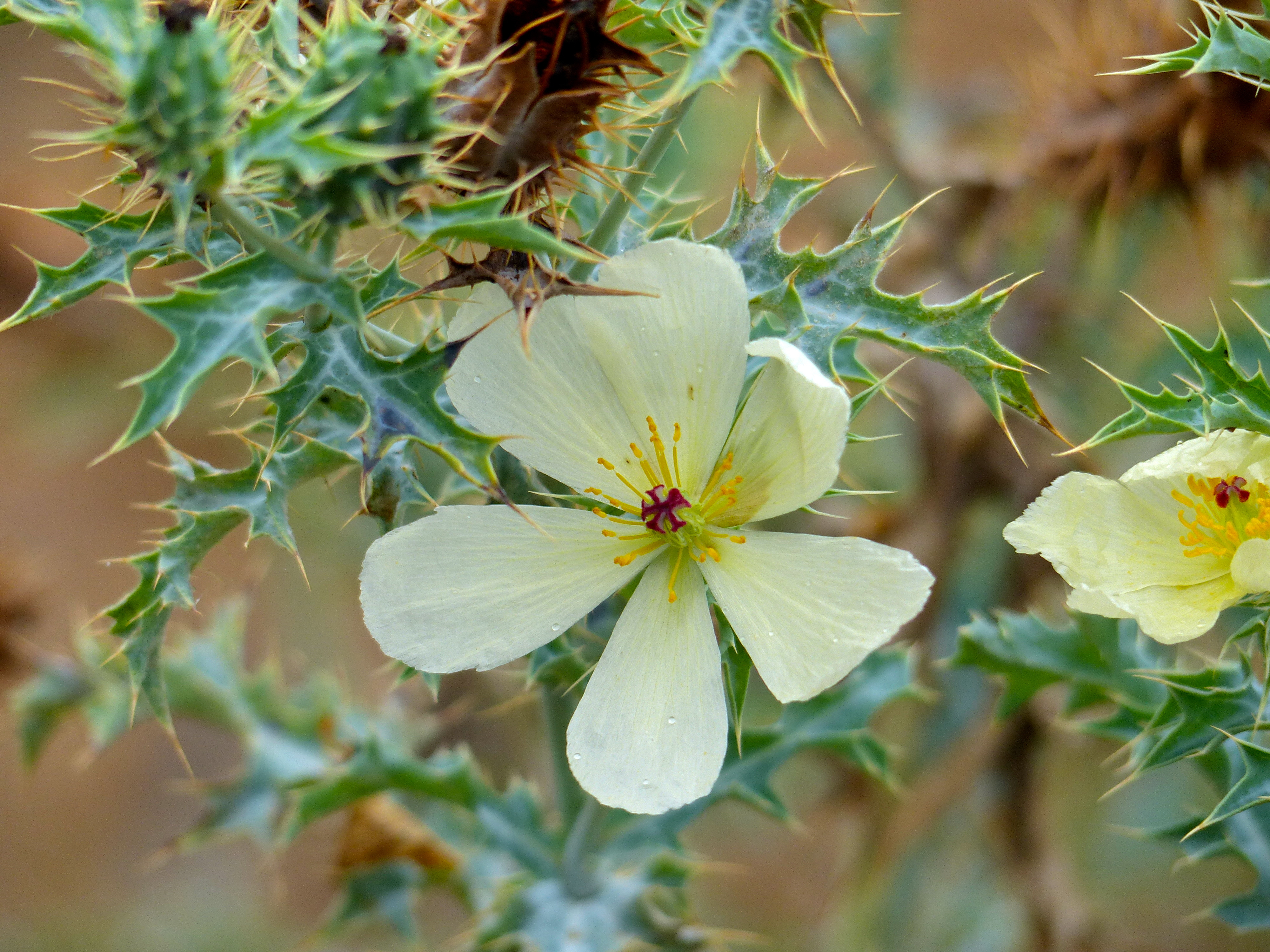 Image of Mexican poppy