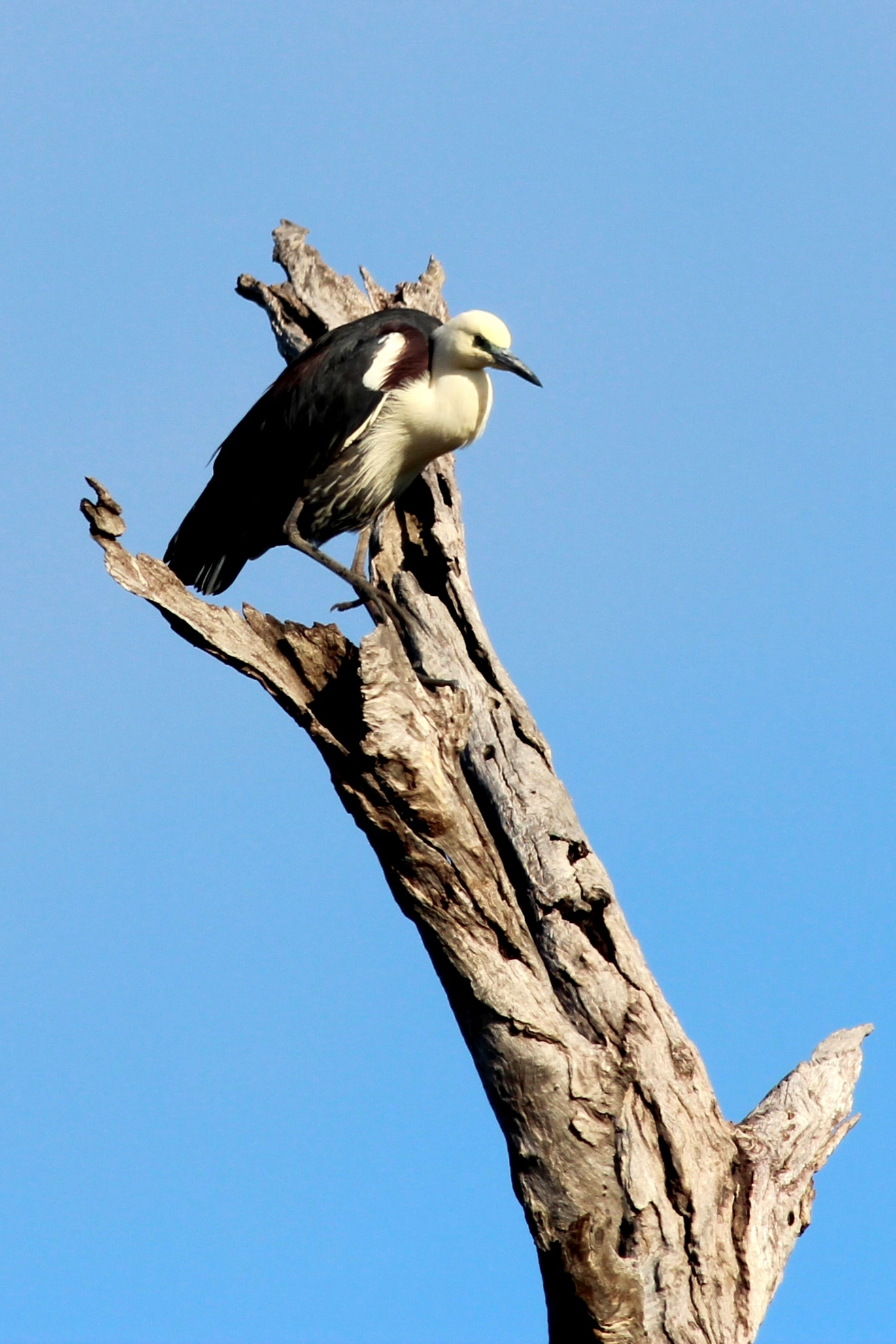 Image of Pacific heron