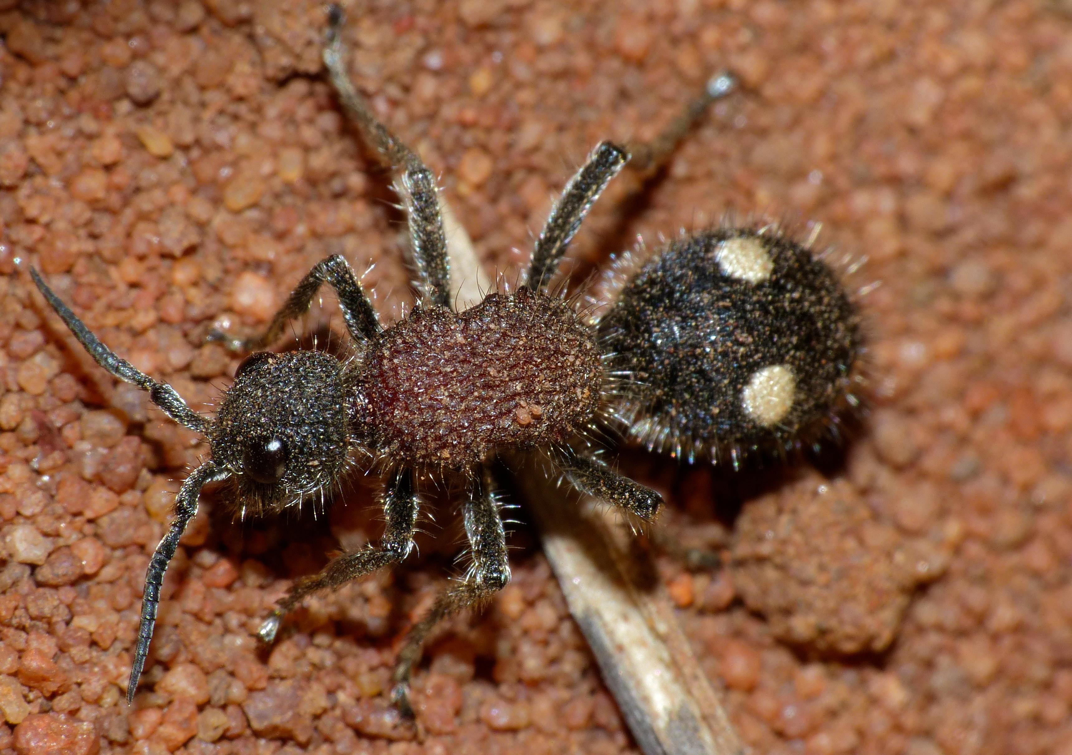 Image of <i>Dolichomutilla sycorax</i> (Smith 1855)