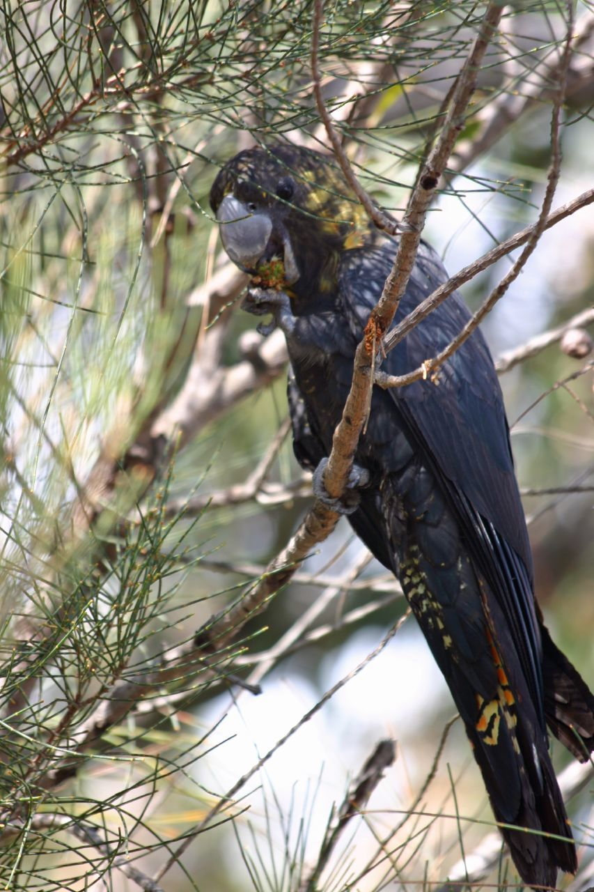 Image of Glossy Black Cockatoo