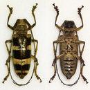 Image of <i>Nemophas</i> (<i>Pilomophas</i>) <i>ramosi</i> Schultze 1920