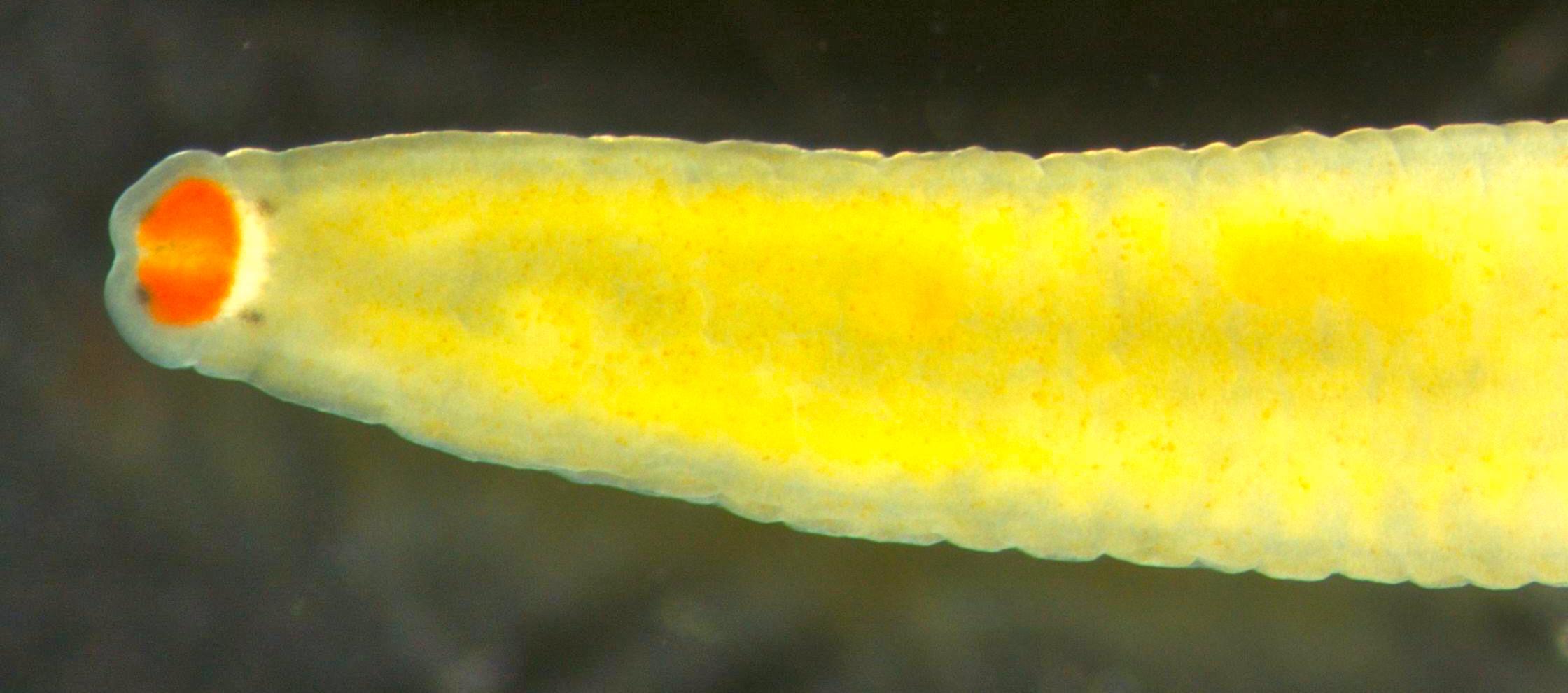 Image of <i>Tetrastemma roseocephalum</i> (Yamaoka 1947)