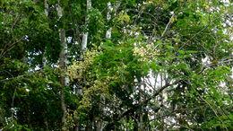 Image of <i>Senegalia martiusiana</i> (Steud.) Seigler & Ebinger