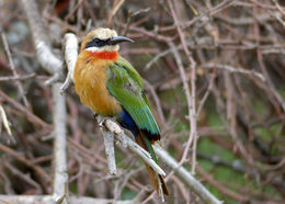 Image of White-fronted Bee-eater