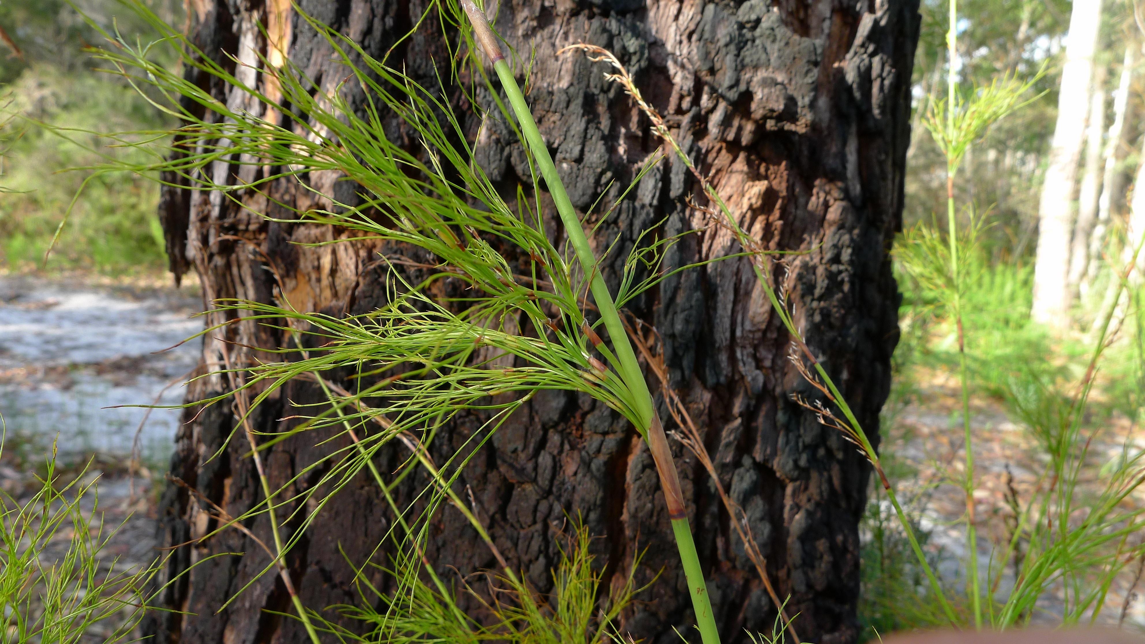 Image of <i>Baloskion tetraphyllum</i> (Labill.) B. G. Briggs & L. A. S. Johnson