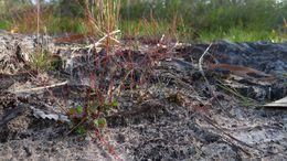 Image of <i>Gonocarpus micranthus</i> Thunb.