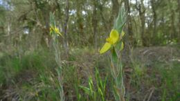 Image of <i>Philydrum lanuginosum</i> Banks & Sol. ex Gaertn.