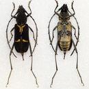 Image of <i>Prothema signata</i> Pascoe 1857