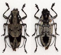 Image of <i>Steirastoma coenosum</i> Bates 1862